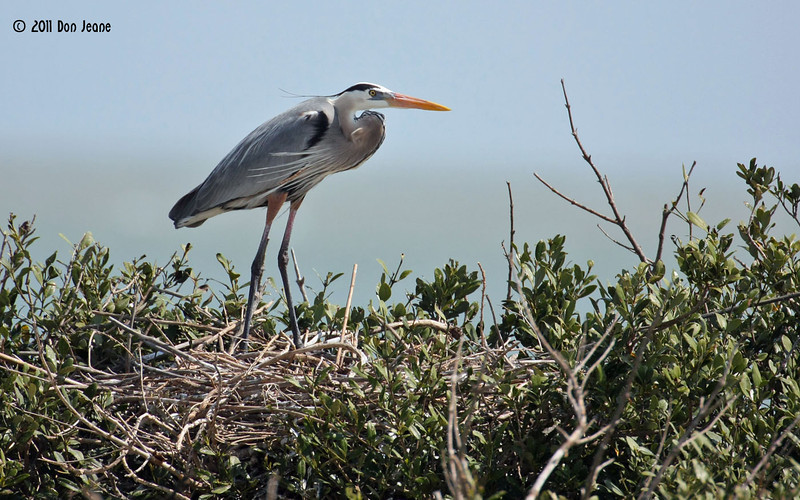 Great Blue Heron, Rookery Island, 3/18/11.