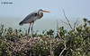 Great Blue Heron, Rookery Island, 3/18/11.