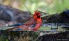 Northern Cardinal, Goose Island State Park, 04/21/2017.