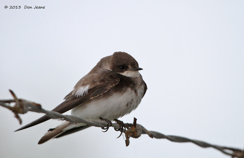 Northern Rough-winged Swallow, Birding Center, Port Aransas, 04/25/2013.