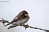 Northern Rough-winged Swallow, Birding Center, Port Aransas, 04/25/2013.