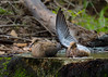 Mourning Doves, Goose Island State Park, 04/17/2017. The dove on the right held it's wing upright as if to wash under it's wing. Interesting.
