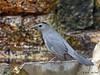 Gray Catbird, Goose Island State Park, 4/23/2013.