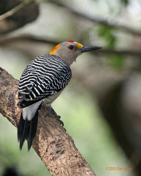 Bentsen - Golden Fronted Woodpecker, 02/24/2005.