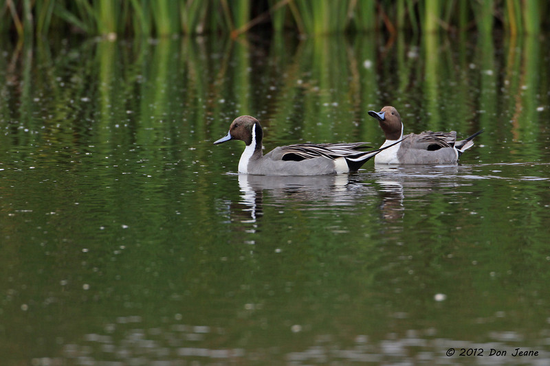 Pintails, small pond on Lamar Beach near Goose Island (Big Tree) State Park, Feb 10, 2012.