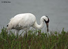 Whooping Crane, Intracoastal Waterway, 3/18/11.
