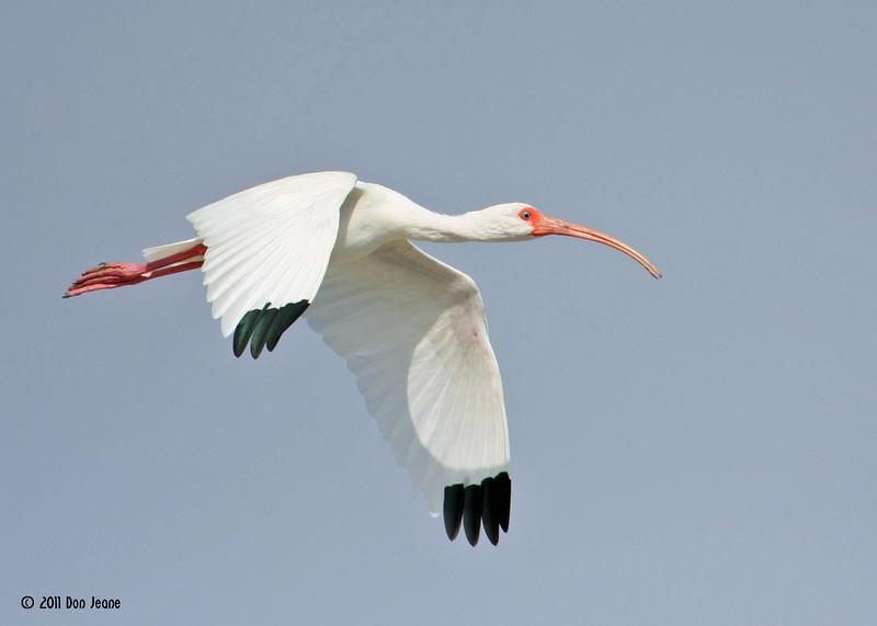 White Ibis, Rookery Island, 3/18/11.