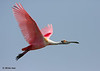 Roseate Spoonbill, Rookery Island, 3/18/11.