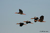 Black-bellied Whistling Ducks, Aransas NWR, 10/09/10.