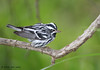 Black and White Warbler, Birding Center, Port Aransas, 04/25/2013.