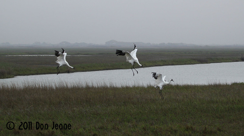 Whooping Cranes, 3/18/11. I don't know, they just jumped.