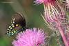 Pipevine Swallowtail / Purple Thistle, Aransas NWR, 3/30/09.