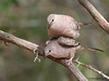 Copulating Inca Doves, Goose Island State Park, 4/23/2013.