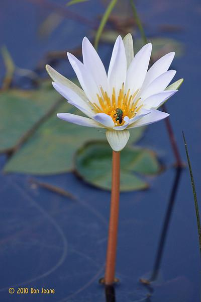 Water Lily, Aransas NWR, 10/09/10.