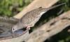 Inca Dove, Falcon State Park, 12/06/2006.