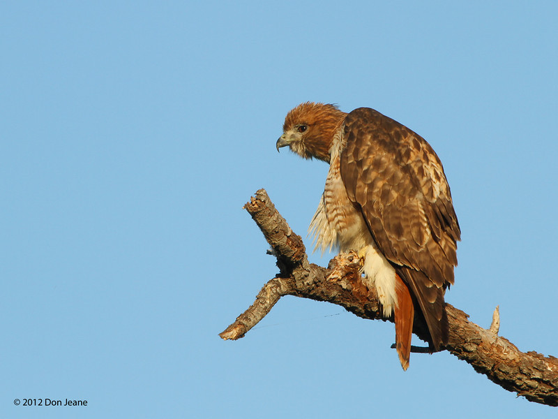 Red-Tailed Hawk, Choke Canyon SP, 11/08/12.