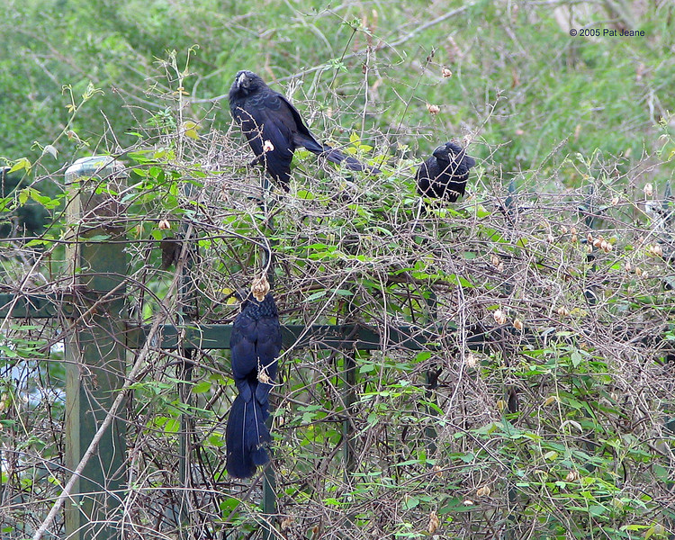 Frontera - Groove-billed Ani's. 02/22/2005.