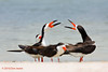 Black Skimmers, Rockport Beach Park, 6/2/2010. Wonder what they're talking about?