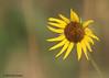 Sunflower, N Boundary Road, Aransas NWR. 08/28/2010.
