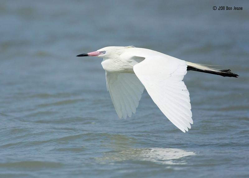 White Phase Reddish Egret, Rookery Island, 3/18/11.