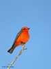 Male Vermilion Flycatcher. Choke Canyon SP, 11/07/12.