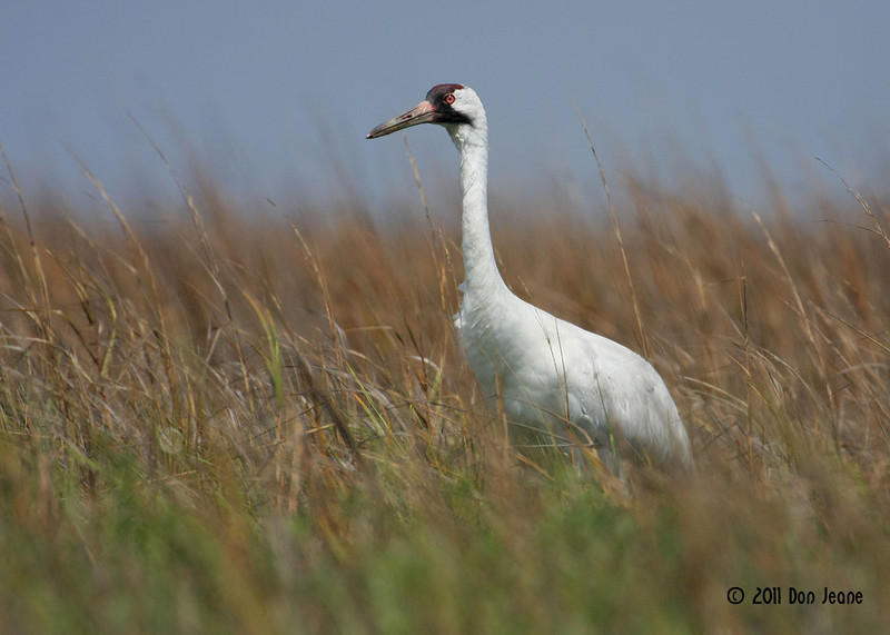 Whooping Crane, 3/18/11.