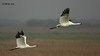Whooping Crane pair, Intracoastal Waterway, 3/18/11.