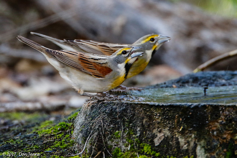 Dickcissels, Goose Island State Park, 04/21/2017.