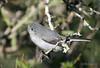 Blue-gray gnatcatcher, Falcon State Park, 12/06/2006.