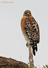 Red-shouldered Hawk, Choke Canyon, 12/09/2006.