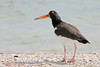 American Oystercatcher, Indianola, 09/16/09.