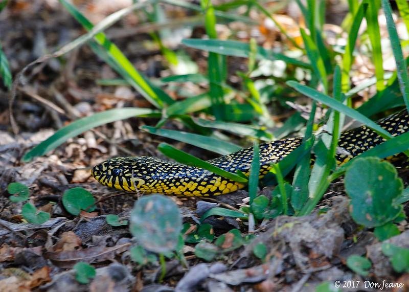 Speckled King Snake, Port Aransas Birding Center. 04/20/2017. Beautiful snake.