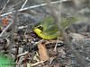 Kentucky Warbler, Paradise Pond, Port Aransas, 04/25/2013.