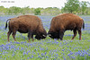 Buffalo in Bluebonnets, between Corcicana & Waco, 4/21/2013. Yeah, I know - really stretching South Texas.