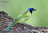 Green Jay, Choke Canyon SP, 11/07/12.