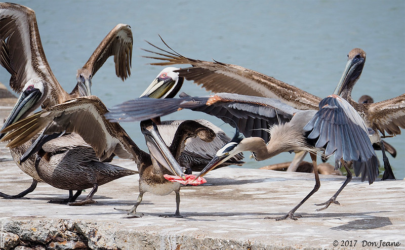 Food fight, Goose Island State Park, 04/17/2017. The Great Blue won this one.