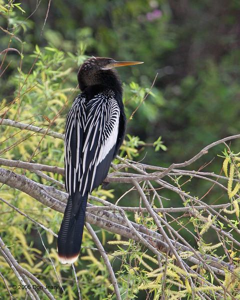 Sabal Palms - Anhinga, 02/20/2005.