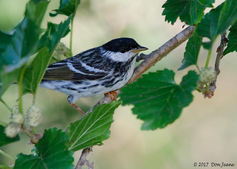 Blackpoll Warbler, Port Aransas Birding Center. 04/20/2017.