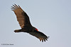 Turkey Vulture, Heron Flats Trail, Aransas NWR. 01/23/2010.