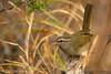 Olive Sparrow, Falcon St Park, 12/01/2007.