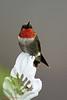 Ruby-throated Hummingbird. Back yard, Victoria County. 09/01/09.