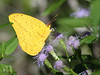 Large Orange Sulphur, Choke Canyon, 11/06/12.