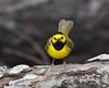 Hooded Warbler, Paradise Pond, Port Aransas, 04/25/2013.