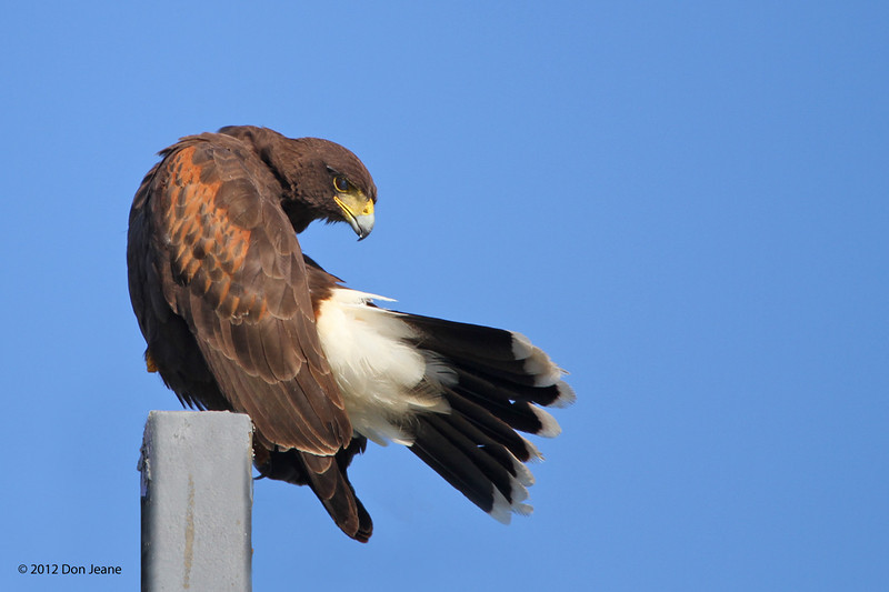 Harris Hawk, Choke Canyon SP, 11/05/12.