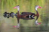 Black Bellied Whistling Ducks with ducklings. Mission Valley, 08/24/09.