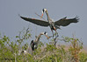Great Blue Herons, Rookery Island, 3/18/11.
