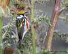 Chestnut-sided Warbler, Paradise Pond, Port Aransas, 04/25/2013.