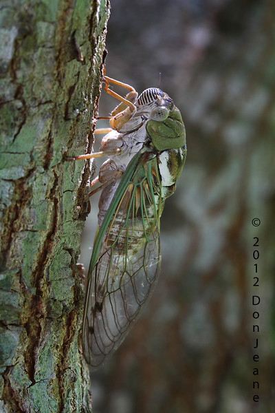 Cicada, back yard, July 2012.