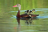 Black Bellied Whistling Duck with duckling. Mission Valley, 08/24/09.
