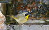 Common Yellowthroat, Goose Island State Park, 04/20/2017.